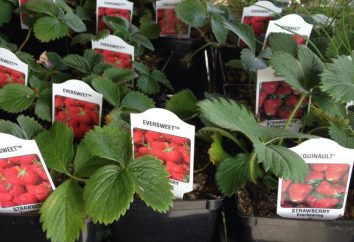 Strawberry Marshmallow: description de la variété, la plantation et l'entretien, photo