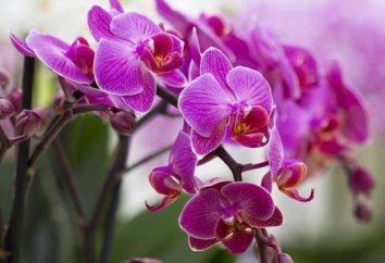 Orchideen Schuhe: Pflege zu Hause. Frauenschuh: Foto und Beschreibung