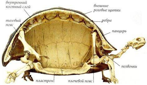 Skeleton Schildkröte: Struktur. Struktur Schildkröte Land, der rote ...