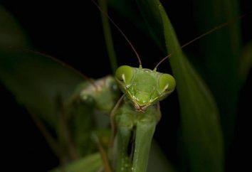 Mantis jest niebezpieczne dla ludzi? Co to może być ukryte zagrożenie?