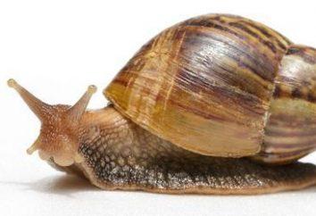 Quelle est la glande digestive dans clam? Caractéristiques de la structure des mollusques