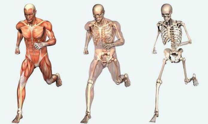 Als ein Mensch ist: die äußere und innere Struktur des menschlichen ...