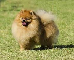 Co do paszy Spitz? Psy małych ras: troska, konserwacja