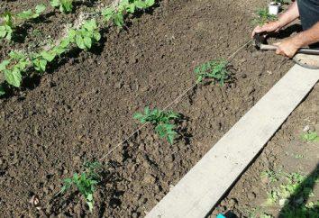 Jak daleko sadzić pomidory w otwartym polu, w szklarni?