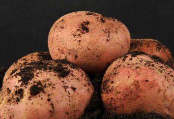 Variété de pommes de terre Zhuravinka – description, caractéristiques, caractéristiques et avis