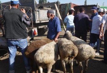 Większość ras owiec. Hissar Rasa: Opis i zdjęcia