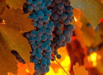 Uvas – es una fruta o bayas? uva de vid. Descripción de la uva