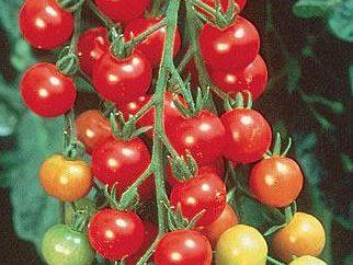"""Tomate """"Cranberries in Zucker"""" – Kundenbewertung. Anbau und Pflege von Tomatensorten """"Cranberries in Zucker"""""""