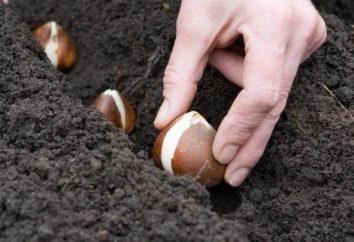 Come e quando trapiantare tulipani