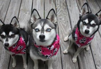 Nain Husky (Alaska Klee Kai, mini Husky, un husky miniature): description de la race