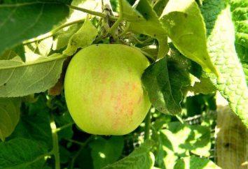 Jak się toczyć sok jabłkowy? Sok jabłkowy na zimę: Receptura
