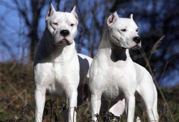 chiens Argentine: Description de la race, les chiens, la nature, les caractéristiques et les examens de soins