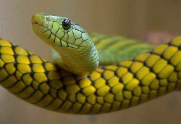 Bardzo jadowity wąż aspidovyh rodzina: niektórzy członkowie i ich niebezpieczeństwo