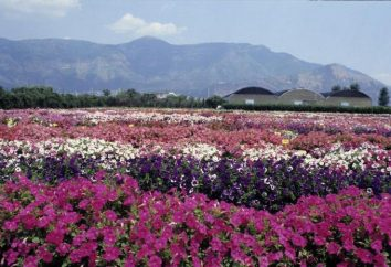 Petunia Gioconda wiele Kwitnące pełzanie kaskadowe: opinie, zdjęcia, sadzenia i pielęgnacji, uprawy z nasion