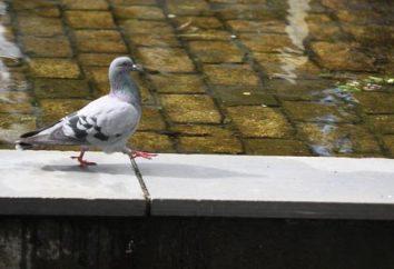 Que faire si le pigeon du pigeon est laissé sans parents?