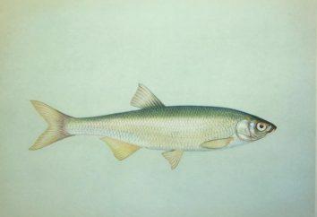 Poissons Shemaya – poisson royal