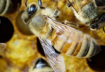 Bienenzucht für Anfänger zu Hause