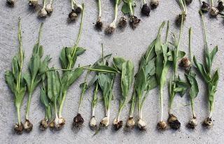 tulipán Dig: cómo almacenar los bulbos
