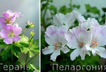 Pelargonium e Geranio: la differenza, la cura a casa, opinioni e recensioni
