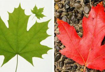simples e compostas folhas: formas, tipos, diferenças