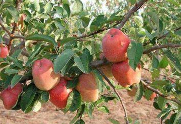 """Apple Tree """"shtreyfling"""": una descrizione di varietà ad alto rendimento"""