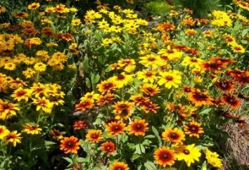 viele Jahre Rudbeckia – die Sonne im Garten