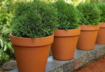 Umpflanzen Tui: die Nuancen des Verfahrens