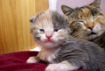 Cuando se abrirán los ojos gatitos, y cómo cuidar adecuadamente de ellos?
