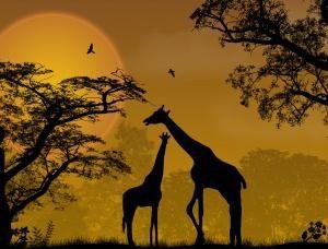 Gdzie są żyrafy? Jaki jest siedliskiem żyrafy i jak dostosować się do niego?