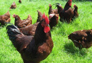 Rhode Island – race de poulet: description, photos, spécifications, commentaires
