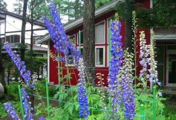 Belle delphinium: plantation et soins