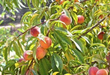 Peach Redhaven: foto e descrizione, caratteristiche della coltivazione, recensioni