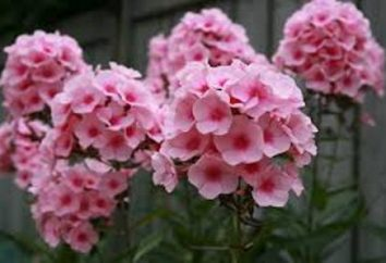 Consigli giardinieri Quando piantare Phlox