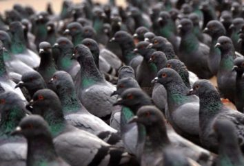 Exposición de palomas en Moscú (2015)