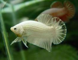 Che cosa è, il pesce-drago (Arowana)?