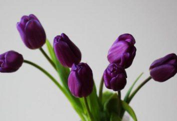 I tulipani sono violetti – cosa significa? Bouquet di tulipani viola come simbolo di fedeltà