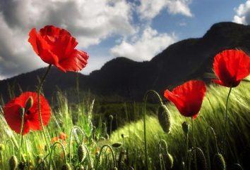 Beneficios y perjuicios de la amapola. Las semillas de amapola: los beneficios y daños. El secado con una amapola: los beneficios y daños