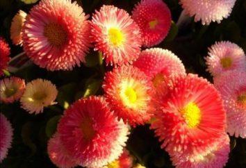 Daisy. Cresce dal seme e la cura dei fiori