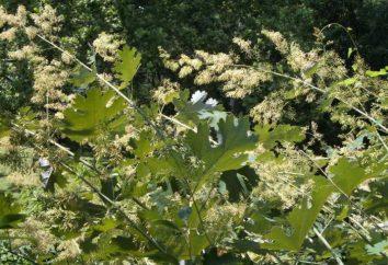 cordata Macleay – pianta medicinale e ornamentale