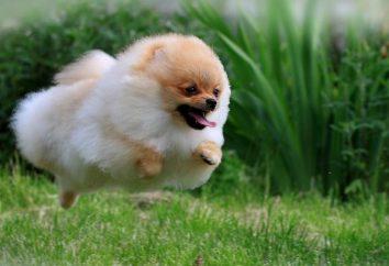 La plupart des chiens nain mignon et adorable