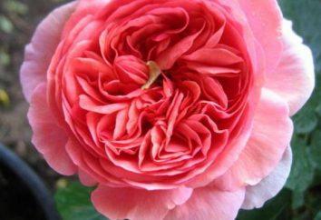 Roses Chippendale: Beschreibung der Sorte und Merkmale des Anbaus.