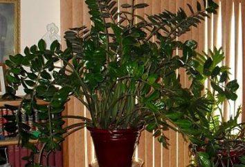 Es el árbol del dólar (Zamioculcas) – Flor del celibato?