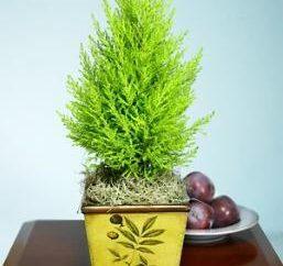 Cypress: Pflanzenpflege zu Hause
