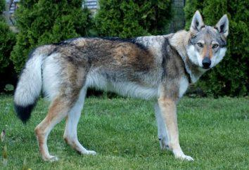 Pies-wilk – nazwa tej rasy?