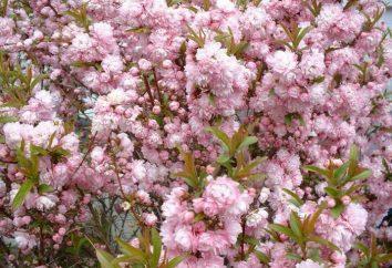 Kwitnąca migdałowy (zdjęcie). Gdy migdałowy kwiat?