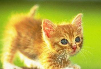 Wiek kotów w kategoriach ludzkich i cech jego liczenia