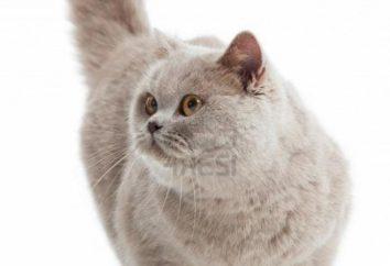 Quelles sont les couleurs de la race britannique de chats