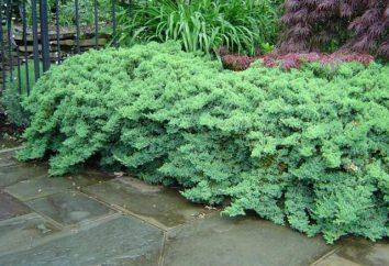 ginepro Recumbent Nana: semina, cura, particolarmente in crescita