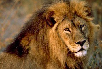 libro dei sogni interessante. Lions sognano di fortuna o problemi?
