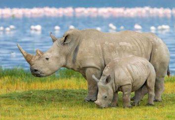 Gdzie nosorożce żyć i jakie są